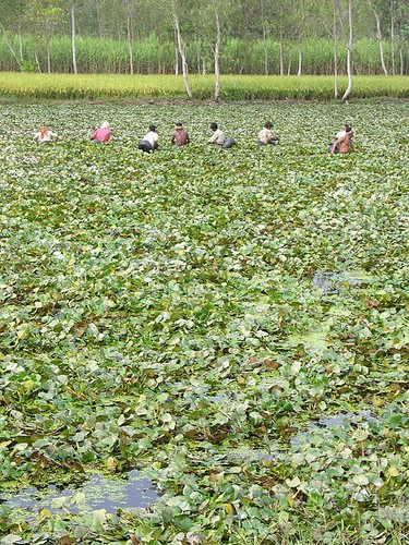water chestnuts farming is a profitable business. water chestnut cultivation can be much more profitable in small investments .
