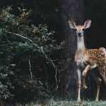 Axis Deer is among the most beautiful wild animals of the nature. Now a days world population is increasing rapidly and people are searching for some new farming business ideas which can ensure food security and create a sustainable and profitable income source.